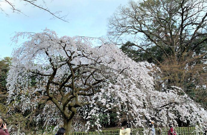 京都御所の桜・近衛邸跡のしだれ桜が素晴らしい