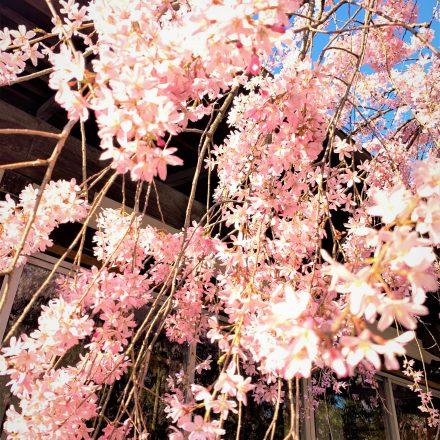 水火天満宮の桜は京都の穴場桜のスポット