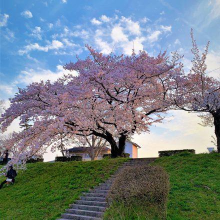 鴨川の桜は京都のおすすめ桜スポット